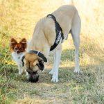 Chico und Bruno Papillon und Kangal