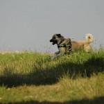 _DSC0565 Kangal frei laufend