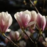 Magnolienblüte _DSC5919
