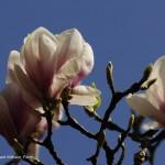 Magnolienblüte _DSC5932