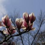 Magnolienblüte _DSC5954