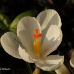 Krokusblüte Krokus blühend_DSC6579