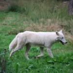 Polarwolf Alte Fasanerie Hanau