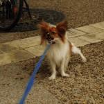 Hund Papillon im Streik