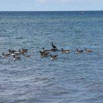 Gänse Ostsee Schwimmen