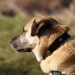 Kangal Herdenschutzhund HSH