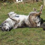 Kafka Straßenhund Schäferhund Rückenlage sonnt
