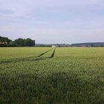Getreidefeld mit Fahrspuren