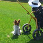 Papillon auf Golfplatz