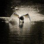 Schwan läuft über Wasser