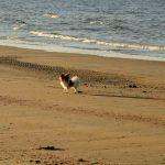 Chico Hund Blavand Daenemark Strand