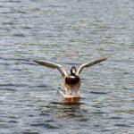 Wildente Erpel Landung Wasser aufsetzen