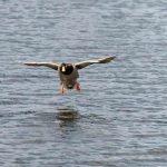 Wildente Erpel Landung Wasser