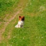 Chico Hund Golf Papillon sitzt