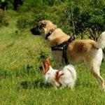 Herdenschutzhund Kangal Bruno mit Papillon Chico