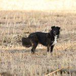 Davina Hund schwarz ProDogRomania auf Feld