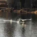 laufender Schwan beginnt fliegen